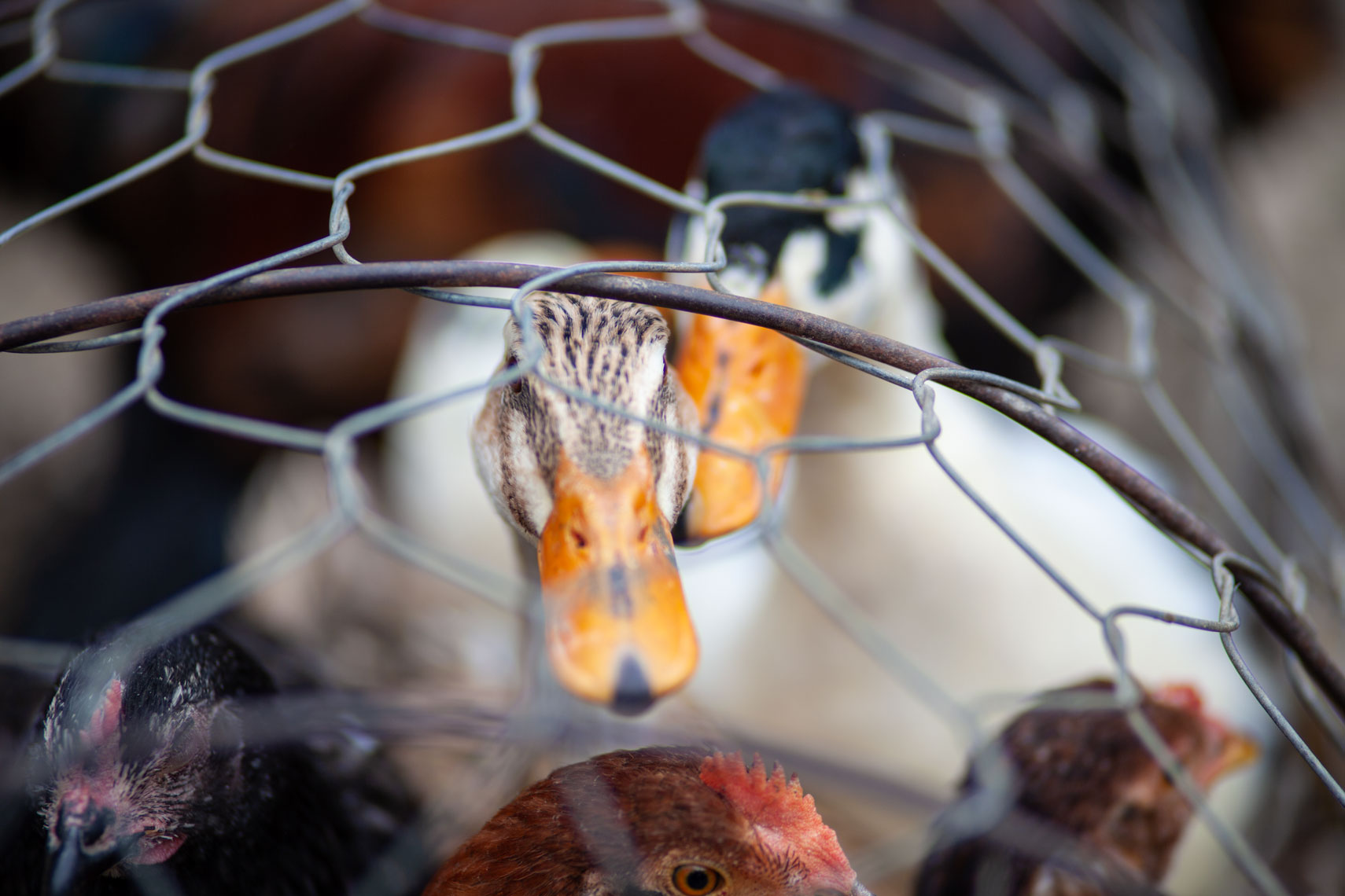 ducks-in-cage