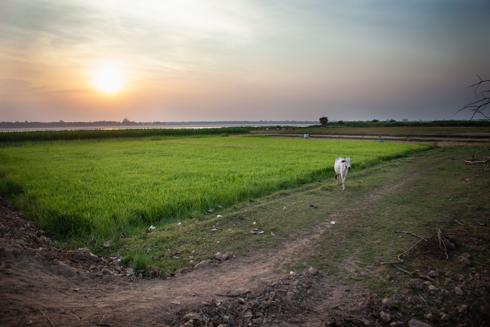 kratie-cow-in-rice-field