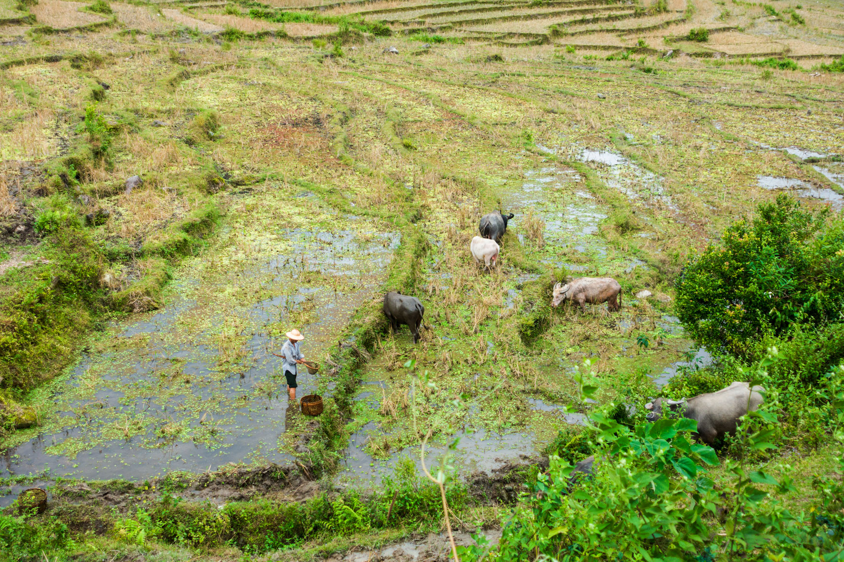 rice-farm-and-oxen-ha-giang