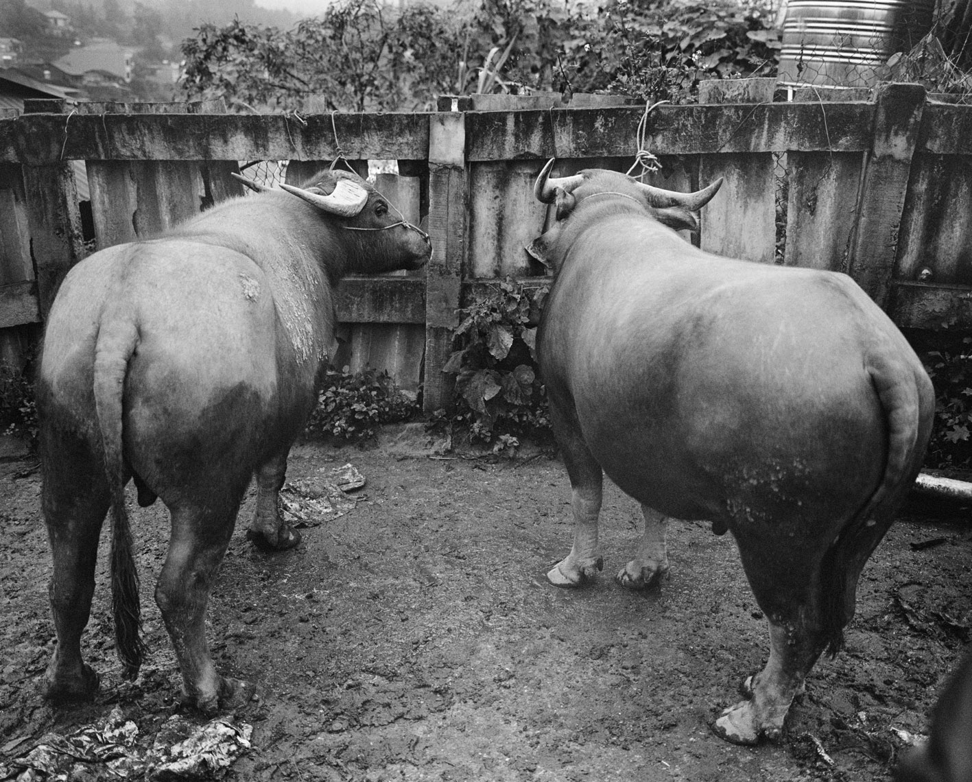 two-water-buffaloes