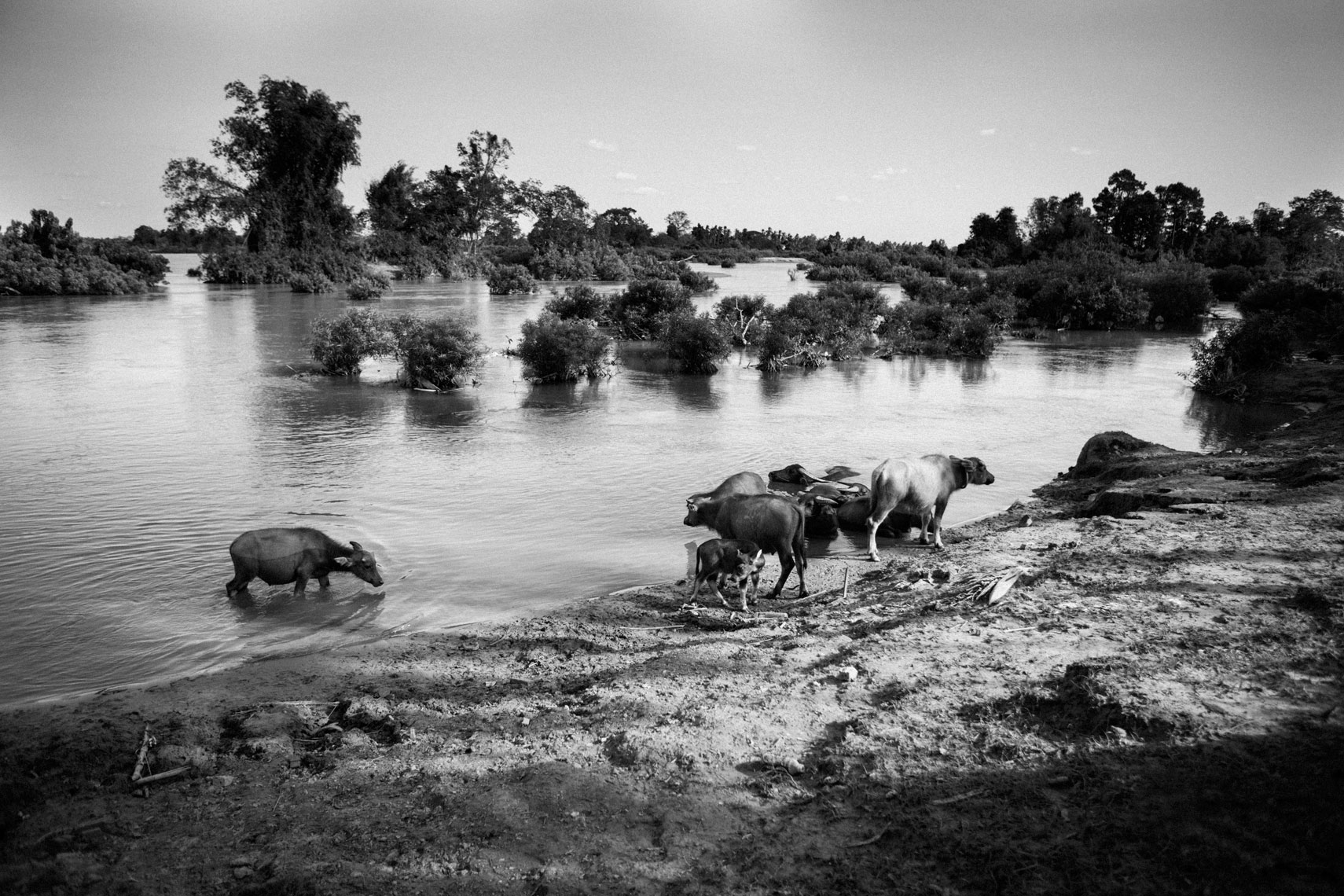water-buffalo-grazing